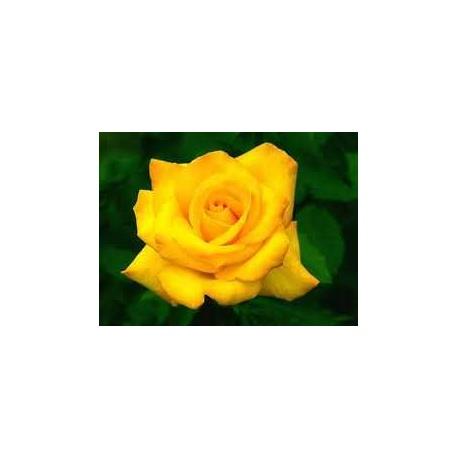 ROSA ETERNA COLOR AMARILLO 22.5 cm